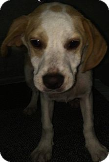 Hound (Unknown Type) Mix Puppy for adoption in Levittown, New York - Trusty