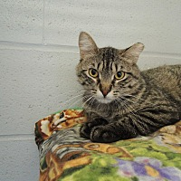 Domestic Shorthair Cat for adoption in House Springs, Missouri - Lewis