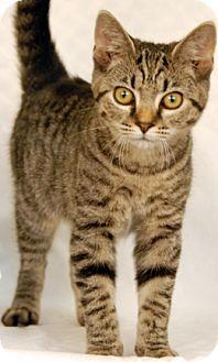 Domestic Shorthair Kitten for adoption in Newland, North Carolina - Viola