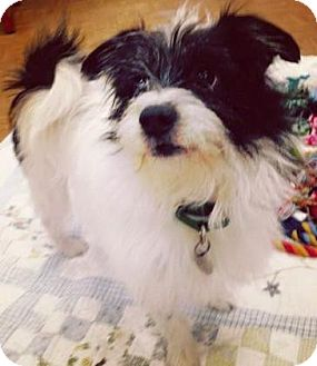 Cairn Terrier/Chihuahua Mix Dog for adoption in Oak Park, Illinois - Peabody