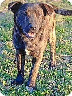 Labrador Retriever/Mastiff Mix Puppy for adoption in Allentown, Pennsylvania - Ruger