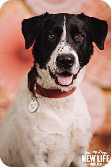 Border Collie/Great Dane Mix Dog for adoption in Portland, Oregon - Kenny