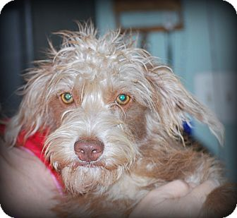 Podengo Portugueso/Schnauzer (Miniature) Mix Puppy for adoption in Jennings, Oklahoma - Tobi