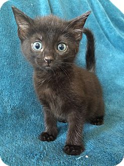 Bombay Kitten for adoption in Nashville, Tennessee - Abigail
