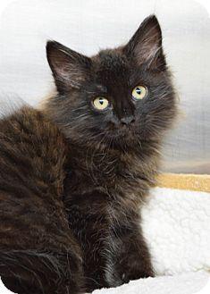 Domestic Longhair Kitten for adoption in Dublin, California - Abu