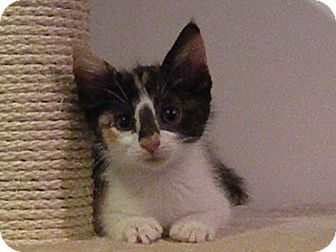Domestic Shorthair Kitten for adoption in Turnersville, New Jersey - Pittypat