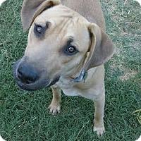 Adopt A Pet :: Tank - Mesa, AZ