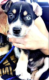 Border Collie/Collie Mix Puppy for adoption in Boulder, Colorado - Blazer