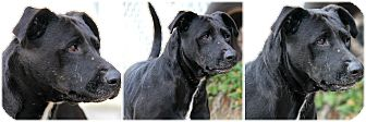 Labrador Retriever/Shepherd (Unknown Type) Mix Dog for adoption in Forked River, New Jersey - Gizzy