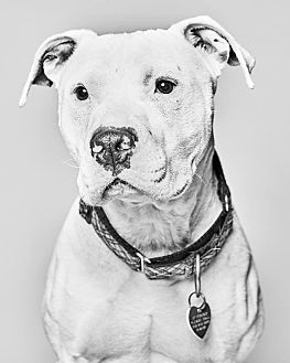 American Bulldog Mix Dog for adoption in Van Nuys, California - Storm