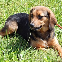 Shepherd (Unknown Type)/Basset Hound Mix Puppy for adoption in Williamsport, Maryland - Beatrice (20 lb) Sweet Pea
