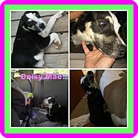 Adopt A Pet :: daisy mae - Malvern, AR