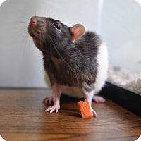 Rat for adoption in Grand Rapids, Michigan - Chip
