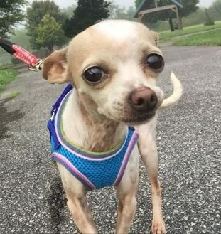 Chihuahua Mix Dog for adoption in Hendersonville, North Carolina - Ninel
