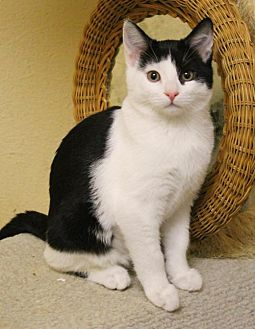 Domestic Shorthair Kitten for adoption in McDonough, Georgia - Bobble