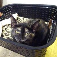 Domestic Shorthair/Domestic Shorthair Mix Cat for adoption in Belleville, Michigan - Loretta