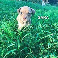 Adopt A Pet :: Sara - Hartford, CT