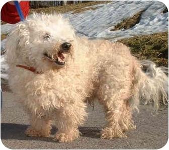 Bichon Frise Mix Dog for adoption in Honesdale, Pennsylvania - Oscar