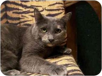 Domestic Shorthair Cat for adoption in Spokane, Washington - Butterscotch
