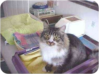 Maine Coon Cat for adoption in Quincy, Massachusetts - Pumpernickle