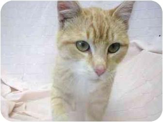 Domestic Shorthair Cat for adoption in Little Falls, Minnesota - Rosco