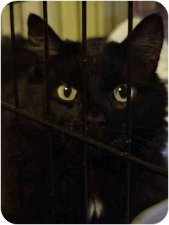 Domestic Mediumhair Cat for adoption in Chesapeake, Virginia - Abigail