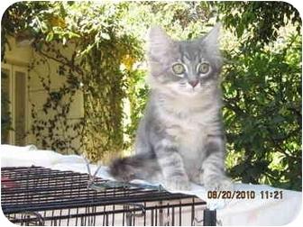 Domestic Mediumhair Kitten for adoption in Los Angeles, California - Squeakie