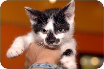 American Shorthair Kitten for adoption in Brooklyn, New York - Yessie-Jin
