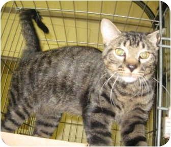 Domestic Shorthair Cat for adoption in Stillwater, Oklahoma - Winston