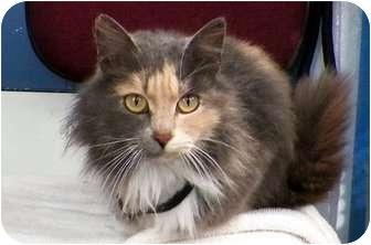 Domestic Longhair Cat for adoption in Sullivan, Missouri - Portia