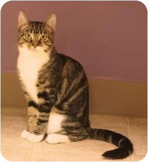 Domestic Longhair Cat for adoption in Ocean City, New Jersey - Jillian