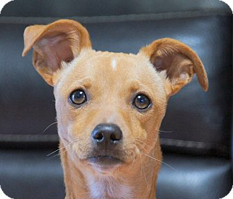 Chihuahua Mix Puppy for adoption in Thousand Oaks, California - Jackpot