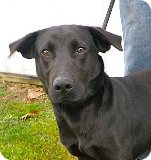Labrador Retriever/Flat-Coated Retriever Mix Dog for adoption in Metamora, Indiana - Gemini