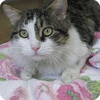 Domestic Longhair Cat for adoption in Denver, Colorado - Murphy