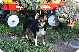 Miniature Pinscher Mix Dog for adoption in Pompton Lakes, New Jersey - Schickper