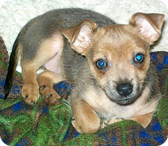 Chihuahua/Dachshund Mix Puppy for adoption in Houston, Texas - Lulu