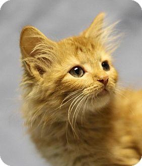 Domestic Mediumhair Kitten for adoption in Winston-Salem, North Carolina - Trudy