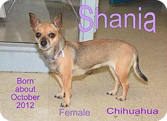 Chihuahua Mix Dog for adoption in Richmond, Missouri - Shania