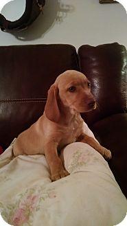Labrador Retriever Mix Puppy for adoption in Richmond, Virginia - Ruby