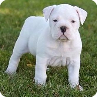 English Bulldog Puppy for adoption in Winchester, California - Olive