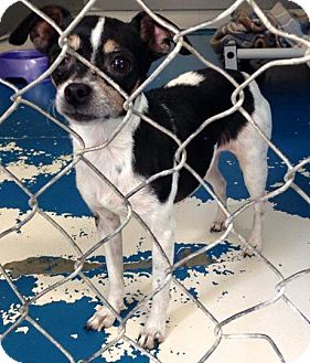 Terrier (Unknown Type, Medium)/Chihuahua Mix Dog for adoption in Newburgh, Indiana - Mia