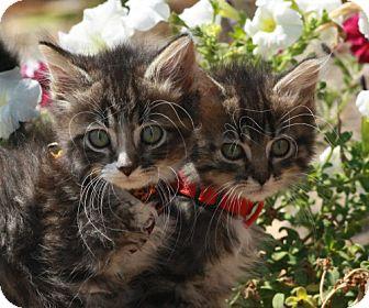 Domestic Mediumhair Kitten for adoption in Newburgh, Indiana - Leslie~Tessy