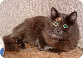 Maine Coon Cat for adoption in Lisbon, Ohio - Willow - ADOPTED!