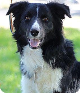 Border Collie Mix Dog for adoption in Wheaton, Illinois - CASEY