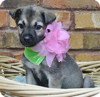 Shepherd (Unknown Type)/Shiba Inu Mix Puppy for adoption in Benbrook, Texas - Snickers