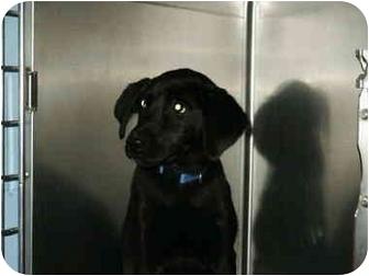 Labrador Retriever/German Shepherd Dog Mix Puppy for adoption in Mason City, Iowa - Sabbath