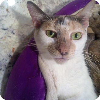 Domestic Shorthair Cat for adoption in Woodland Park, New Jersey - Spoof