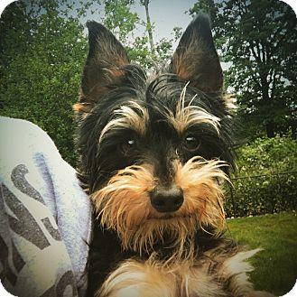 "Yorkie, Yorkshire Terrier Mix Dog for adoption in Seattle, Washington - ""Jax-Jax"""