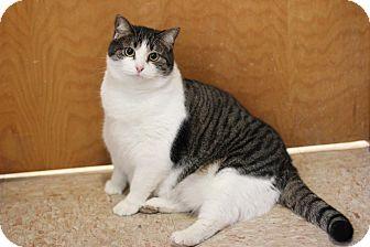 Domestic Shorthair Cat for adoption in Midland, Michigan - Maya - $10!