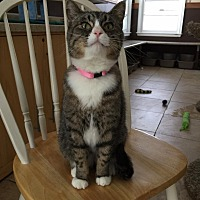 Domestic Shorthair Cat for adoption in Algonquin, Illinois - Meredith